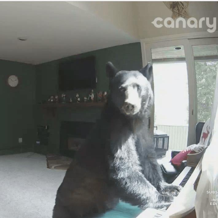 VIDEO: Mirá Cómo un Oso Irrumpe en una Casa de Vail y Se Pone a Tocar elPiano